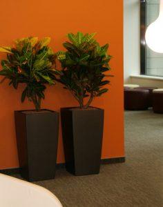 Croton Petrák irodaházban, műanyag kaspóban