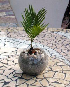 Cycas növénydekoráció üveggömbben