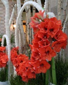 Hotel decoration from orange coloured amaryllis