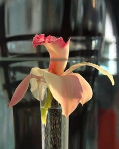 Cymbidium orchid in design glass vase