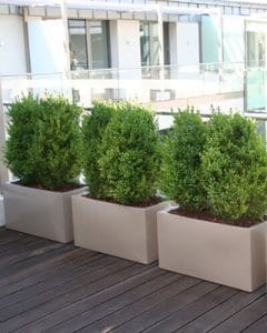 Terrace decoration with boxed hedges