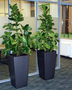 Twin plant decoration in offices - clusia