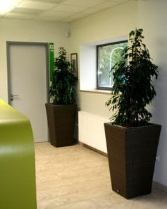 Ficus trees on reception