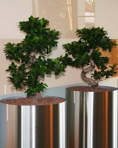 Ficus Bonsai trees in stainless steel pots.