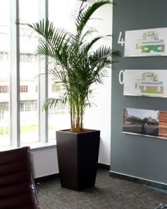 Howea palm placed in meeting room