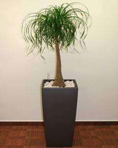 Nolina plant decoration in Lechusa pots