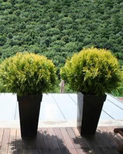 Terrace decoration with thuja plants