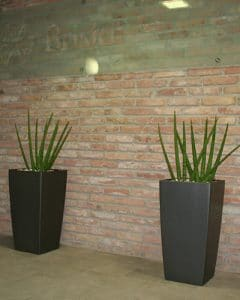 Sansevieria plants in front of office brick wall