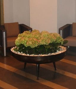 Green potted hydrangeas arranged in groups