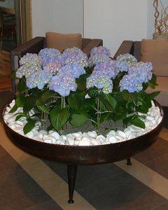 Kék cserepes hortenzia csoportosan beültetve