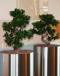 Ficus Bonsai fák rozsdamentes acél kaspókban