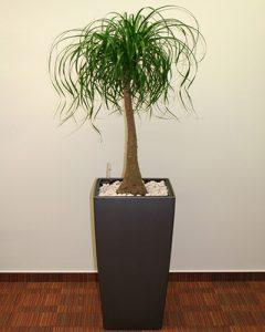 Nolina növénydekoráció – Lechusa kaspóban