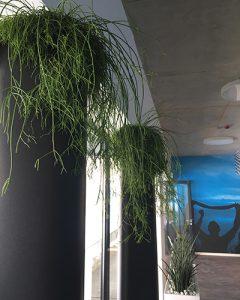 Rhypsalis növénydekoráció toronymagas kaspókban
